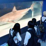 大迫力のホホジロザメに来場者歓喜の声 「海のハンター展」開幕