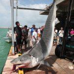 体重480kgのイタチザメが水揚げされる 八重山 沖縄