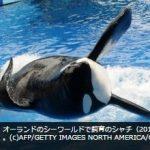 アメリカ シーワールド、シャチの繁殖中止に 飼育環境への批判受け AFPBB Newsより