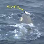 【閲覧注意】シャチがペンギンを追いかける映像