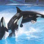 シャチの繁殖・飼育を禁じる州法成立 カリフォルニア アメリカ