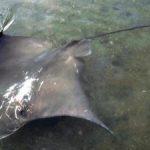 去年のサメに続き、今度はお城の内堀に体長1.8mのエイ