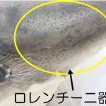 サメの獲物をとらえる電気感覚 海のハンター展のホホジロザメ