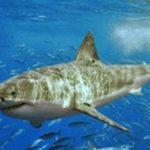 京丹後 マムシポイントにて サメ目撃情報 2015年10月2日