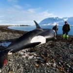 シャチの死骸が漂着する アイスランドの海岸