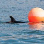 群れからはぐれた子シャチ保護される ニュージーランド