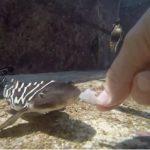 オスのいない水槽で赤ちゃんザメが3匹誕生 オーストラリアの水族館