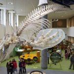 全長7mのシャチ(稚内市の海岸に漂着)の骨格展示 オホーツクミュージアムえさし 2016年5月1日リニューアルオープン