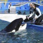 水族館飼育シャチ 「保護対象」に波紋 絶滅危惧種入りで米愛護団体「解放」主張 シャチの ロリータ 2015年3月1日