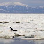 体長7mの4頭目のシャチも救出成功 ロシア 樺太