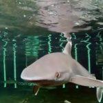 サメが目を閉じて餌を食べる映像 ツマジロ