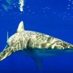 【閲覧注意】ヨゴレザメが人を襲う映像 アメリカ ハワイ沖
