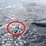 [閲覧注意] 水面に顔を出すアザラシ そこに突然シャチの群れが・・・ アメリカ モントレー