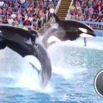 動画 米加州の「シャチショー」廃止へ、飼育などに批判高まる 2015年11月10日