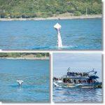 尾ビレはないけど 元気に泳ぐ子どものザトウクジラが発見される ニュージーランド カイコウラ