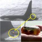 知床沖 シャチに発信器取り付け生態調査 2016年6月28日から調査開始 北海道