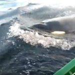 変な音がするボートを見に来るシャチ カナダ ニューファンドランド・ラブラドール州