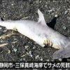 海水浴場にサメ死骸、近隣遊泳禁止に 静岡 2015年8月15日20時56分