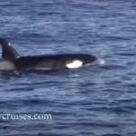 [動画] イルカ「シャチが来た、みんな逃げろー」 猛スピードで逃げるイルカの大群 アメリカ モントレー