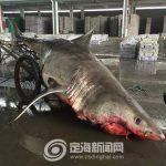 体長約4m、体重約500kgの ホホジロザメを捕獲 中国
