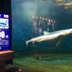 祝 ヨシキリザメ飼育100日 仙台うみの杜水族館