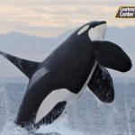 シャチ死亡で物議 タグ付け中止を発表 アメリカ