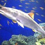 「生きている化石」 オオワニザメを初展示 沼津港深海水族館