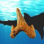 メガロドンの近縁かも 古代サメの新種メガロラムナ・パラドクソドン Megalolamna paradoxodonを発見 日本人研究者ら