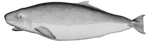 pygmy-sperm-whale2