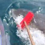 デッキブラシでホホジロザメを撃退して話題に オーストラリア