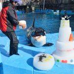 巨大なバースデーケーキにご満悦 シャチのリン4歳の誕生日