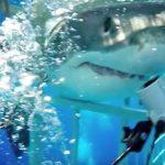 【衝撃】ホホジロザメが檻の隙間に突っ込んでくる恐怖映像