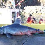 ニシネズミザメが刺し網に掛かる カナダ