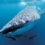 海水に含まれるDNAで、ジンベエザメの遺伝的特徴がわかる 研究発表