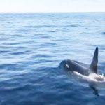 釧路沖のシャチの数 例年を大きく下回る調査結果 2016年