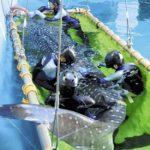 ジンベエザメ、回遊経路を調査 装置付け放流 大阪 海遊館 海洋生物研究所以布利センター