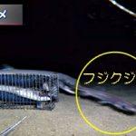 光るサメ、フジクジラ 沖縄
