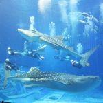 ジンベエザメ繁殖に向け引っ越し完了 沖縄 美ら海水族館