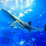 ジンベエザメの繁殖に向けた今後の飼育展示について 沖縄 美ら海水族館