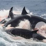 アカボウクジラ科を襲うシャチ オーストラリア ブレマー海底峡谷