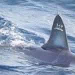 約1万キロもの長距離を移動したアオザメ 漁師に釣られ調査終了 アメリカ
