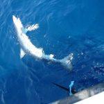 地中海のサメとエイ、絶滅の危機  国際自然保護連合(IUCN)が報告