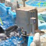 イルカとコミュニケーションを交わすシャチ、アース 名古屋港水族館