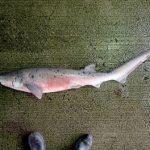 珍しいエビスザメが定置網に掛かる 京都 舞鶴沖で